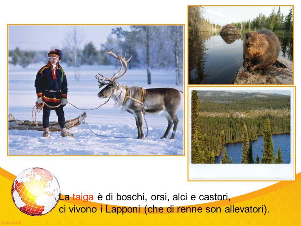 La taiga è di boschi, orsi, alci e castori, ci vivono i Lapponi (che di renne son allevatori).