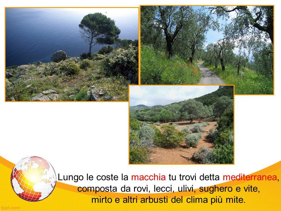 Lungo le coste la macchia tu trovi detta mediterranea, composta da rovi, lecci, ulivi, sughero e vite, mirto e altri arbusti del clima più mite.