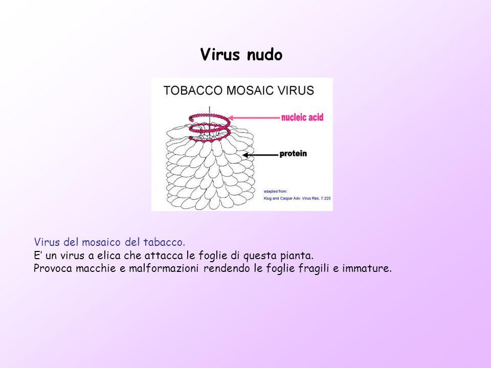 Virus nudo Virus del mosaico del tabacco.