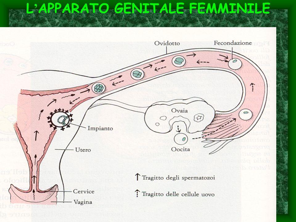 L'APPARATO GENITALE FEMMINILE