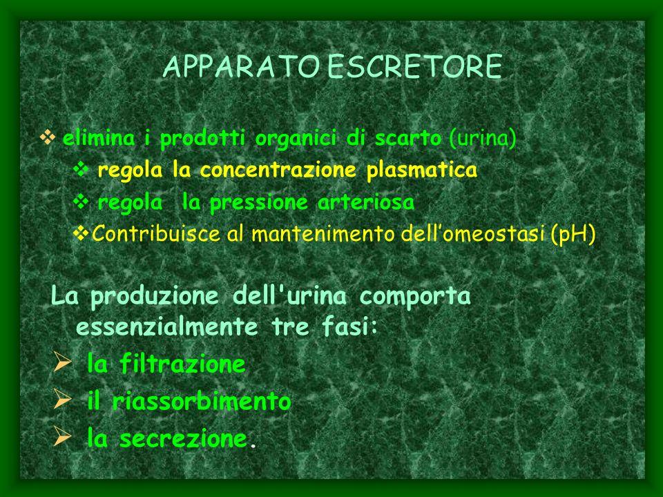 APPARATO ESCRETORE elimina i prodotti organici di scarto (urina) regola la concentrazione plasmatica.