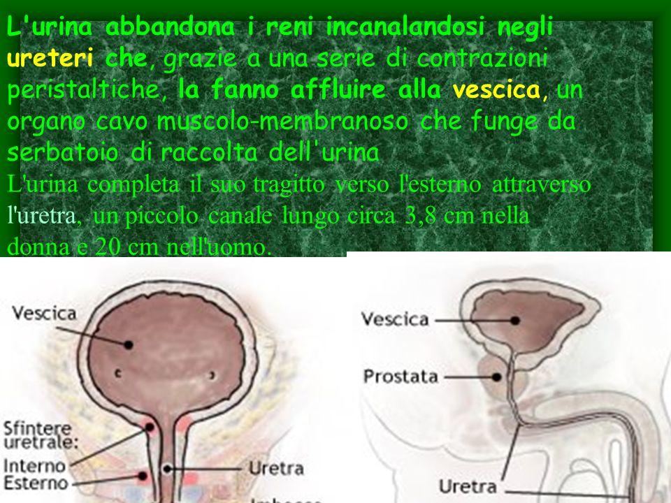 L urina abbandona i reni incanalandosi negli ureteri che, grazie a una serie di contrazioni peristaltiche, la fanno affluire alla vescica, un organo cavo muscolo-membranoso che funge da serbatoio di raccolta dell urina L urina completa il suo tragitto verso l esterno attraverso l uretra, un piccolo canale lungo circa 3,8 cm nella donna e 20 cm nell uomo.