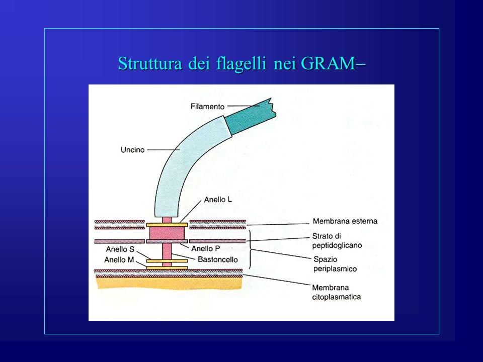 Struttura dei flagelli nei GRAM