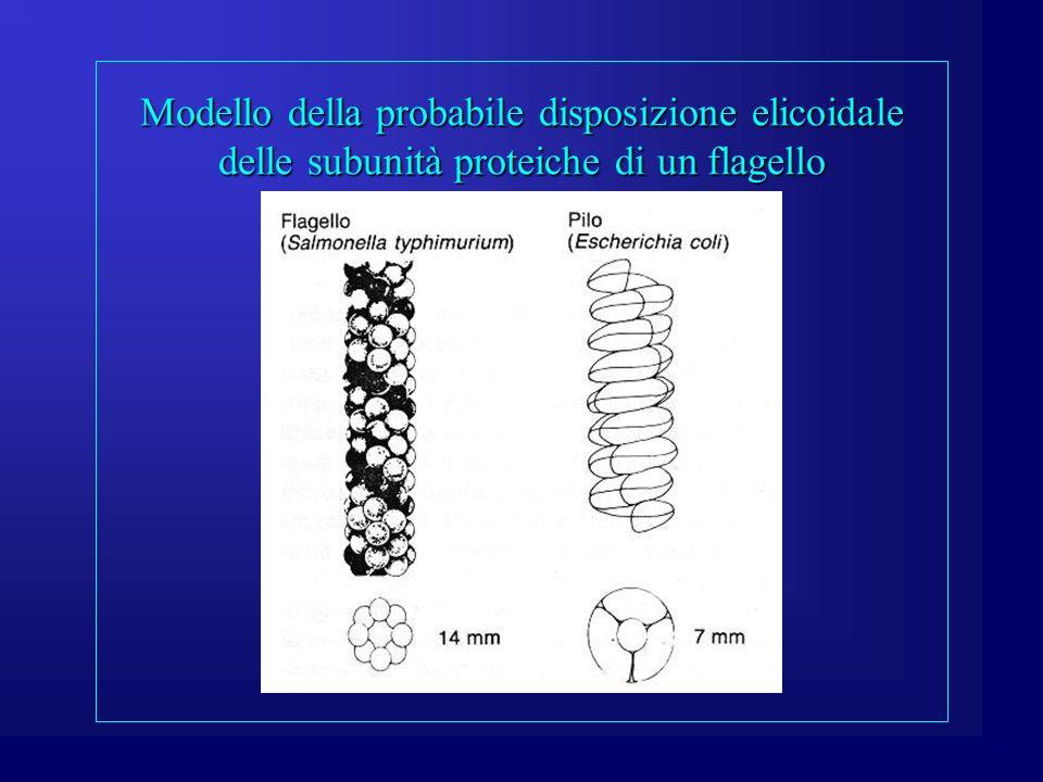 Modello della probabile disposizione elicoidale delle subunità proteiche di un flagello