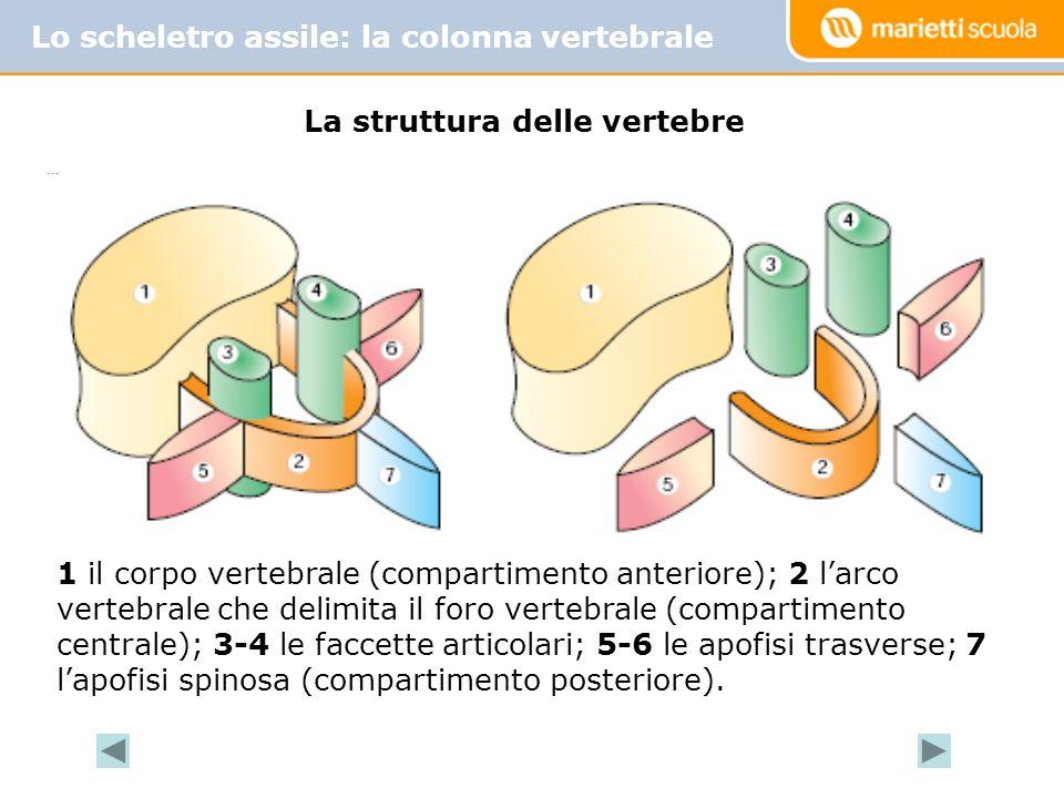 La struttura delle vertebre
