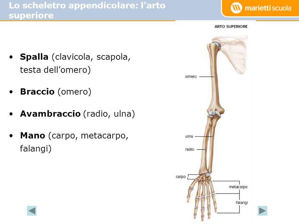 Lo scheletro appendicolare: l'arto superiore