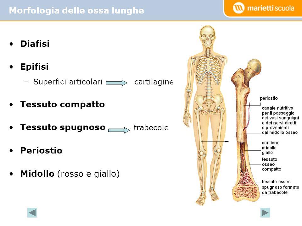 Morfologia delle ossa lunghe
