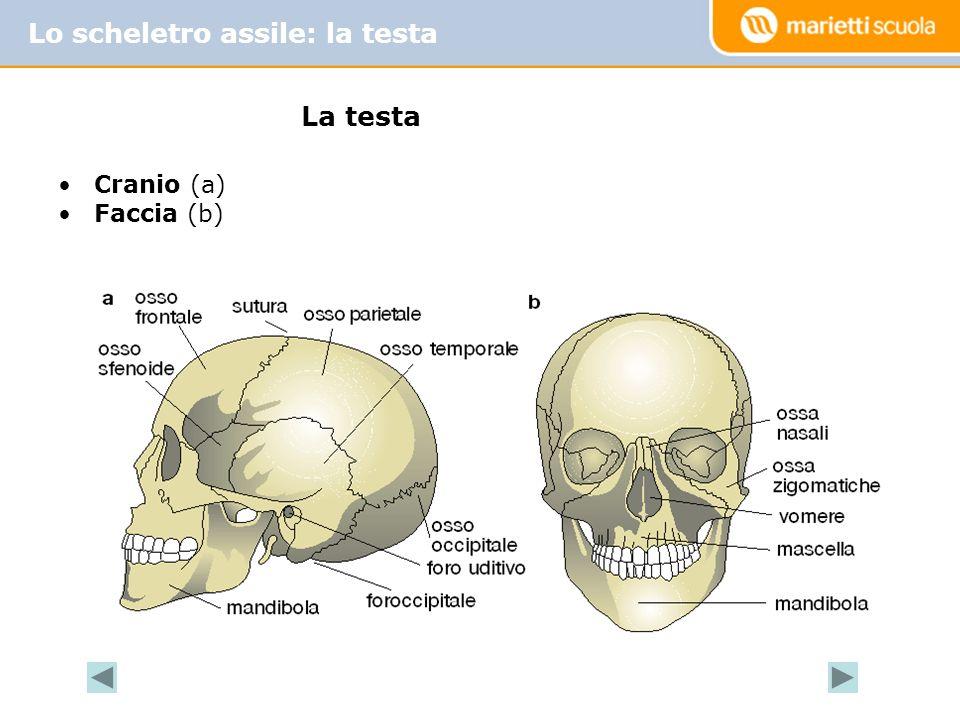 Lo scheletro assile: la testa