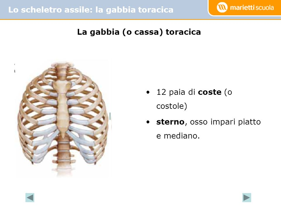 Lo scheletro assile: la gabbia toracica