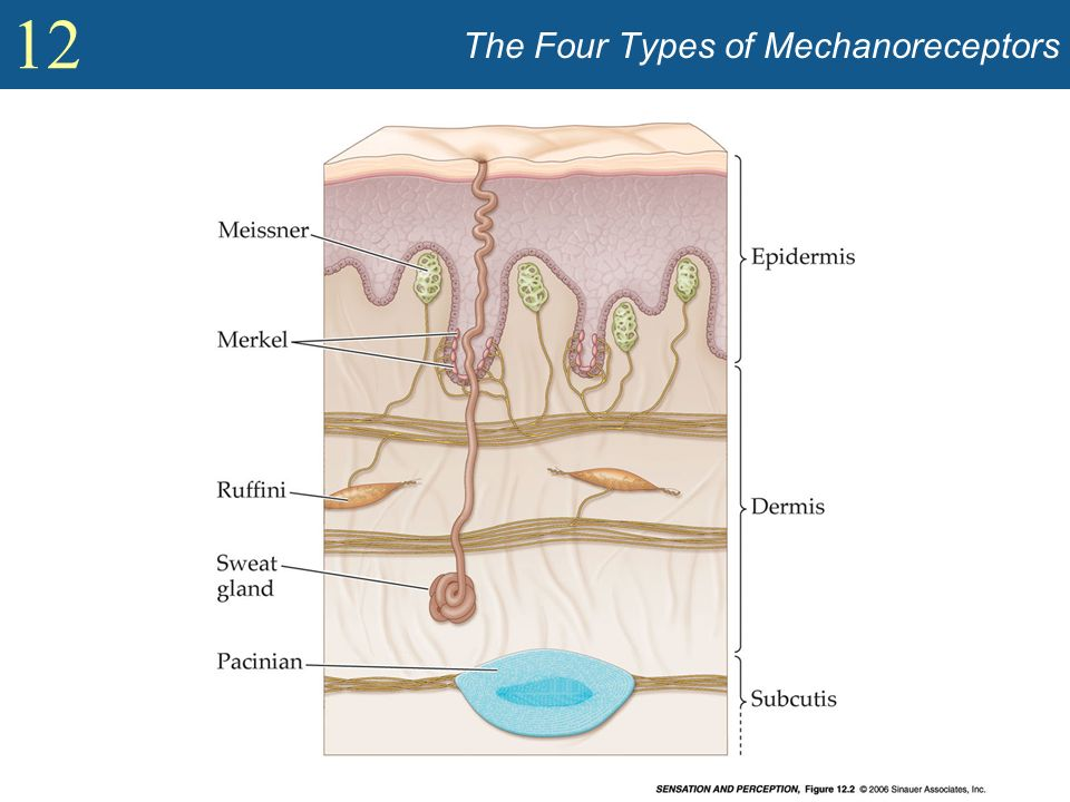 The Four Types of Mechanoreceptors