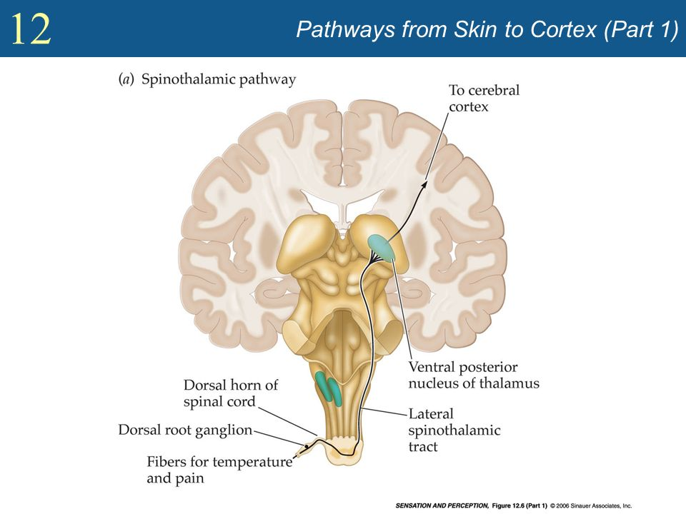 Pathways from Skin to Cortex (Part 1)