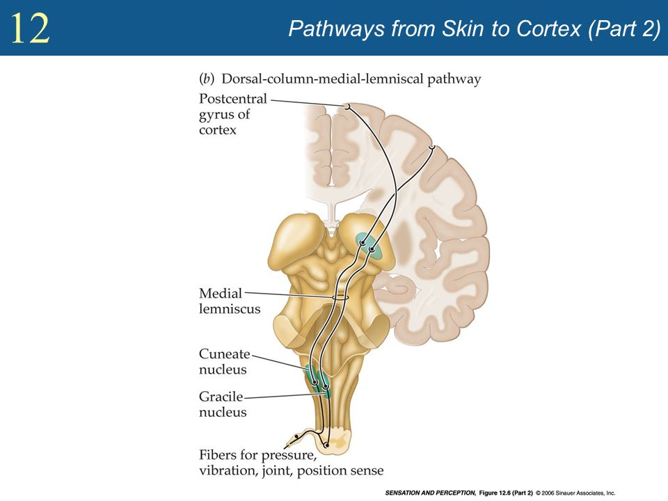 Pathways from Skin to Cortex (Part 2)