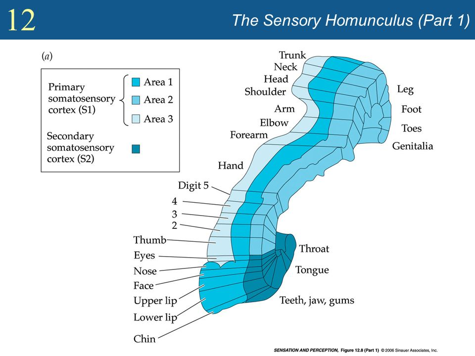 The Sensory Homunculus (Part 1)