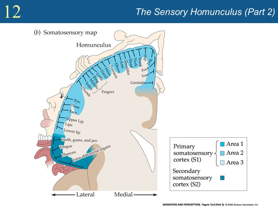 The Sensory Homunculus (Part 2)