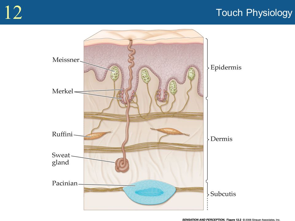 Touch Physiology