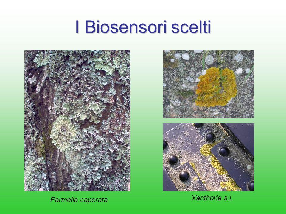 I Biosensori scelti Xanthoria s.l. Parmelia caperata
