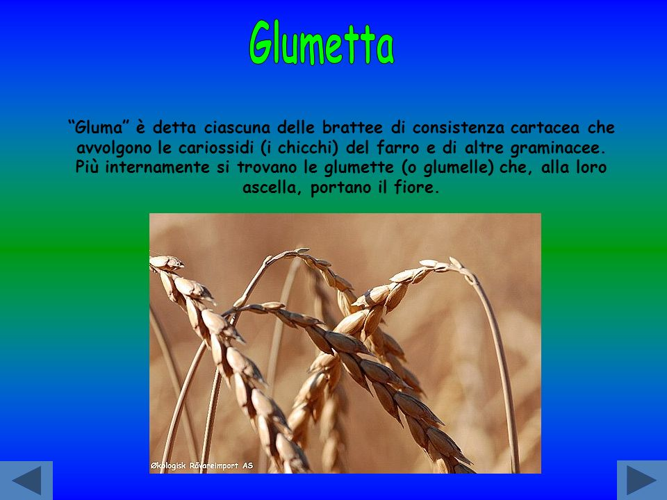 Glumetta Gluma è detta ciascuna delle brattee di consistenza cartacea che avvolgono le cariossidi (i chicchi) del farro e di altre graminacee.