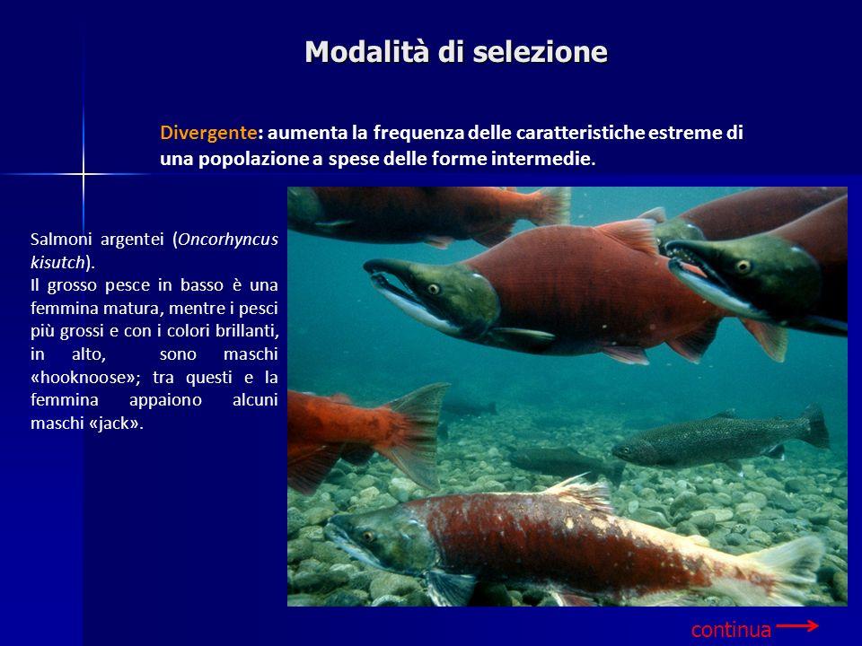Modalità di selezione Divergente: aumenta la frequenza delle caratteristiche estreme di una popolazione a spese delle forme intermedie.