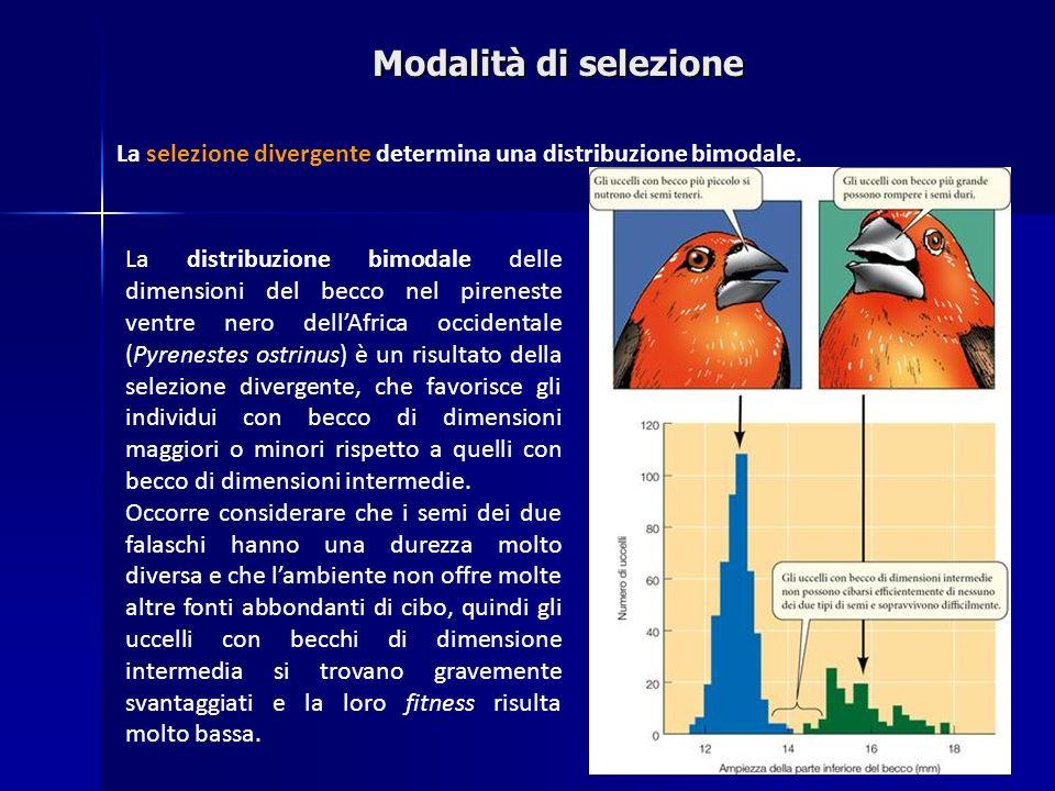 Modalità di selezione La selezione divergente determina una distribuzione bimodale.