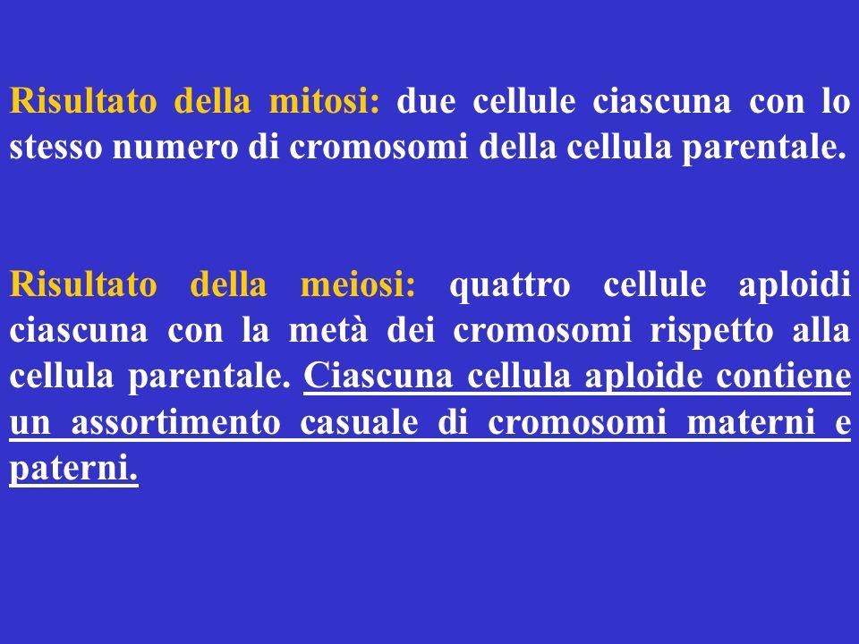 Risultato della mitosi: due cellule ciascuna con lo stesso numero di cromosomi della cellula parentale.