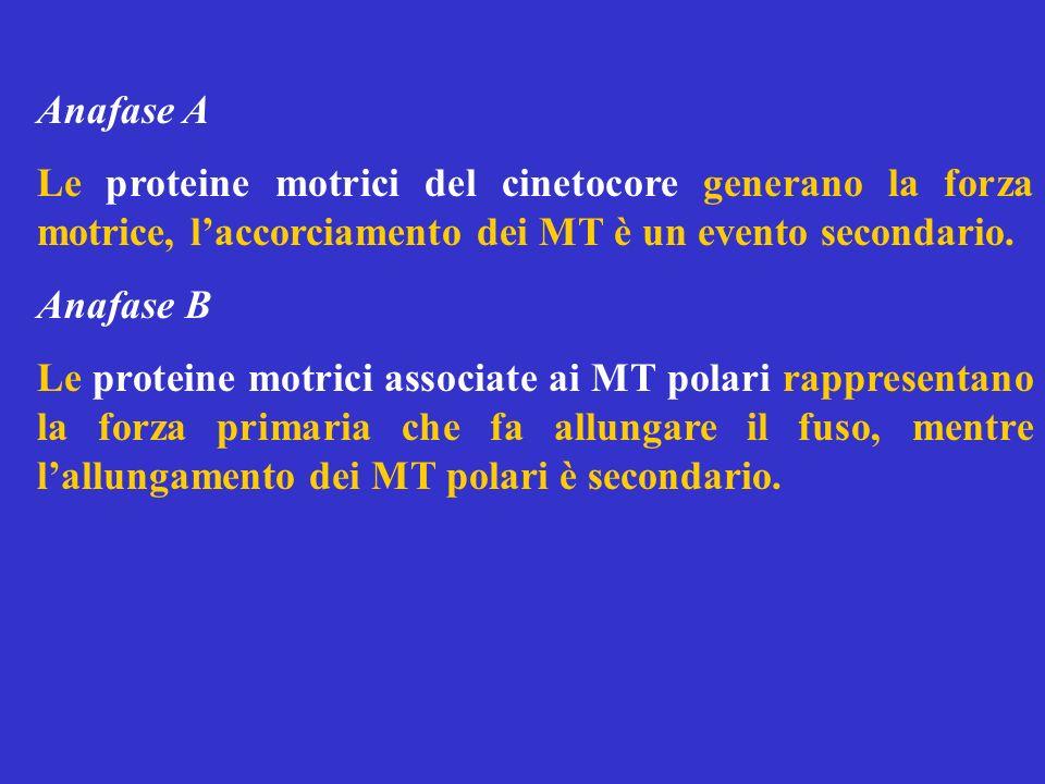 Anafase A Le proteine motrici del cinetocore generano la forza motrice, l'accorciamento dei MT è un evento secondario.