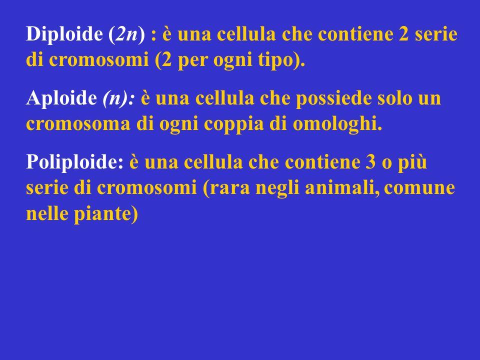 Diploide (2n) : è una cellula che contiene 2 serie di cromosomi (2 per ogni tipo).