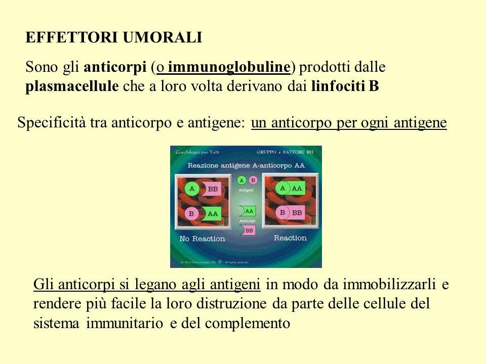 EFFETTORI UMORALI Sono gli anticorpi (o immunoglobuline) prodotti dalle plasmacellule che a loro volta derivano dai linfociti B.