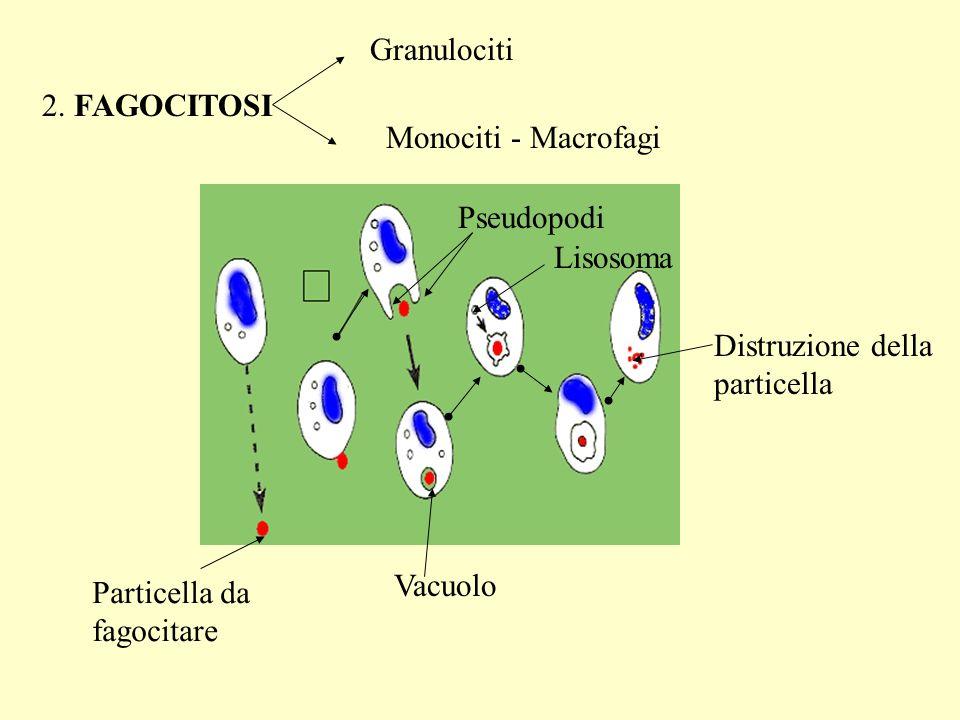 Granulociti 2. FAGOCITOSI. Monociti - Macrofagi. Pseudopodi. Lisosoma. Distruzione della particella.