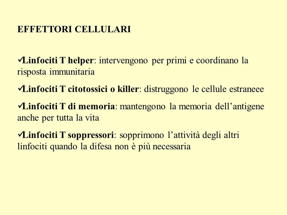 EFFETTORI CELLULARI Linfociti T helper: intervengono per primi e coordinano la risposta immunitaria.