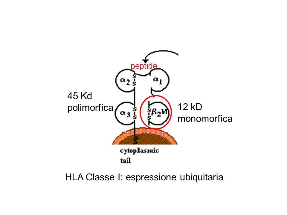 HLA Classe I: espressione ubiquitaria