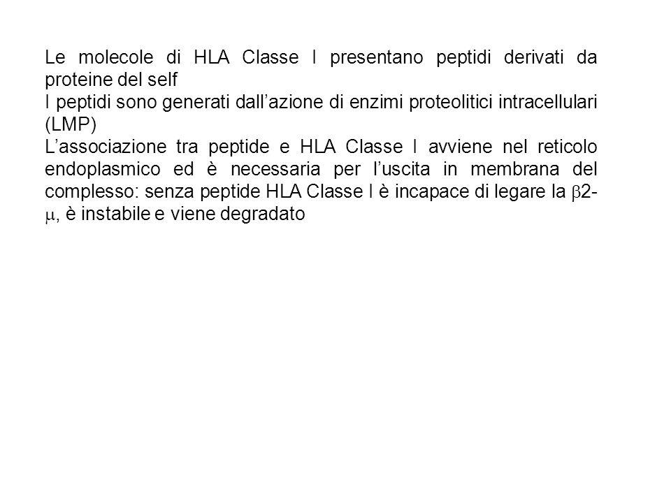 Le molecole di HLA Classe I presentano peptidi derivati da proteine del self