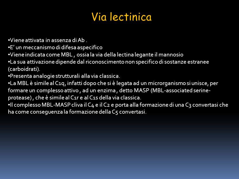Via lectinica Viene attivata in assenza di Ab .