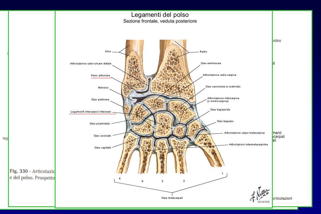 ANATOMIA: articolazioni intercarpiche