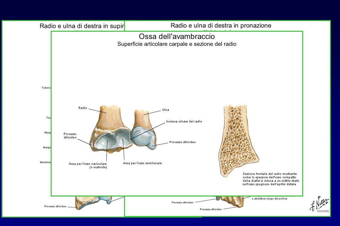 ANATOMIA: articolazione radio-ulnare distale