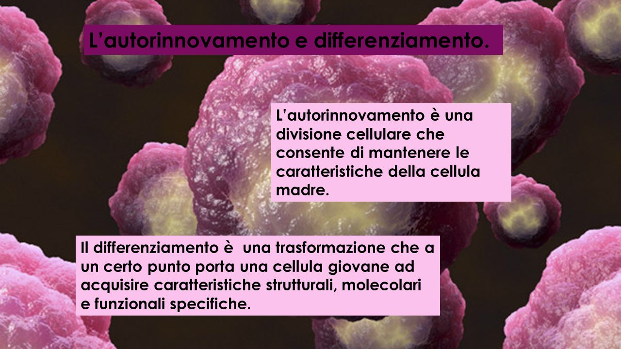L'autorinnovamento e differenziamento.