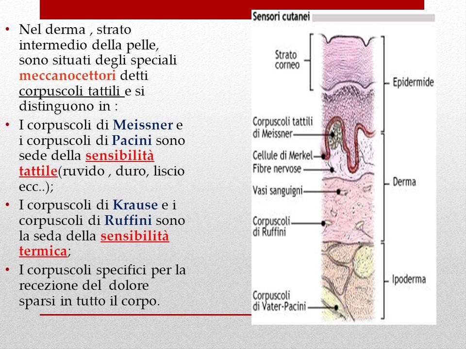 Nel derma , strato intermedio della pelle, sono situati degli speciali meccanocettori detti corpuscoli tattili e si distinguono in :