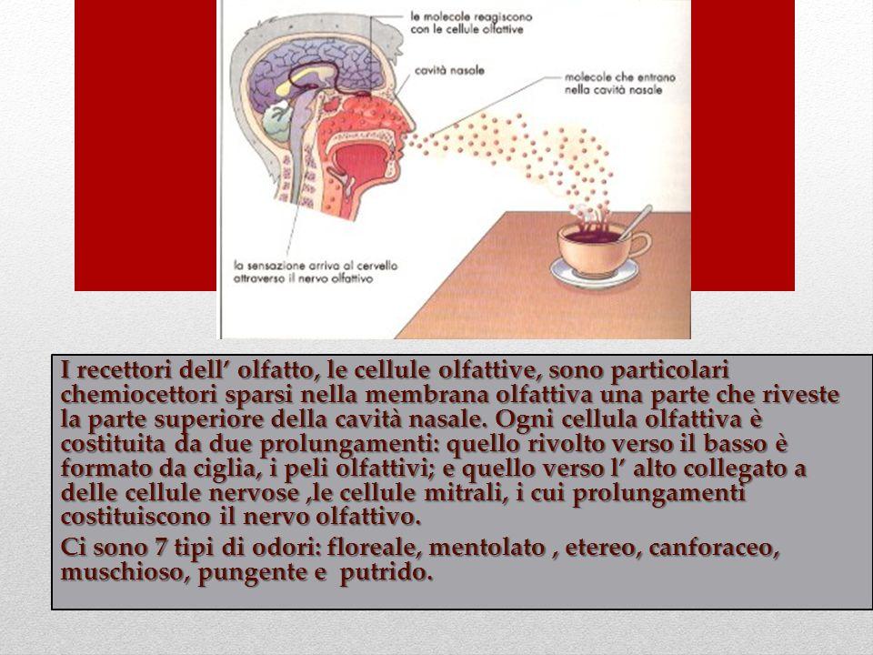 I recettori dell' olfatto, le cellule olfattive, sono particolari chemiocettori sparsi nella membrana olfattiva una parte che riveste la parte superiore della cavità nasale. Ogni cellula olfattiva è costituita da due prolungamenti: quello rivolto verso il basso è formato da ciglia, i peli olfattivi; e quello verso l' alto collegato a delle cellule nervose ,le cellule mitrali, i cui prolungamenti costituiscono il nervo olfattivo.