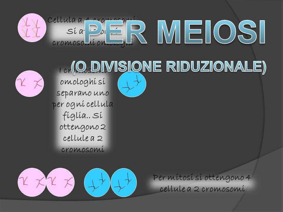 PER MEIOSI (O DIVISIONE RIDUZIONALE)