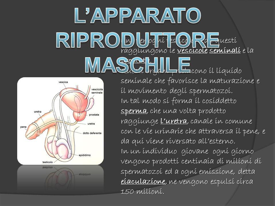 L'APPARATO RIPRODUTTORE MASCHILE