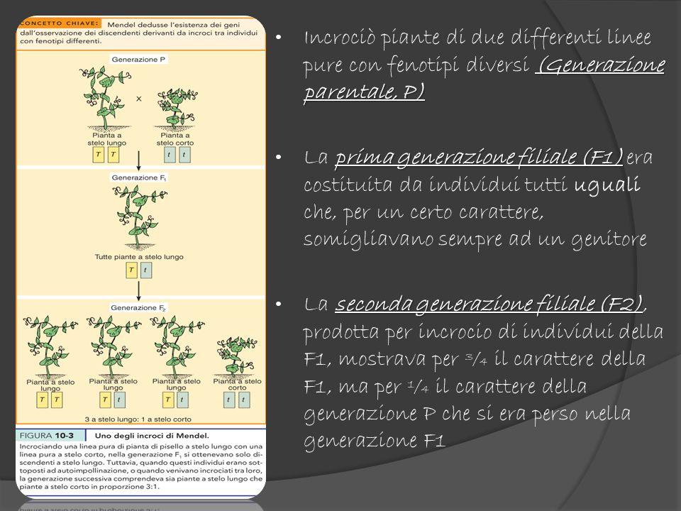 Incrociò piante di due differenti linee pure con fenotipi diversi (Generazione parentale, P)