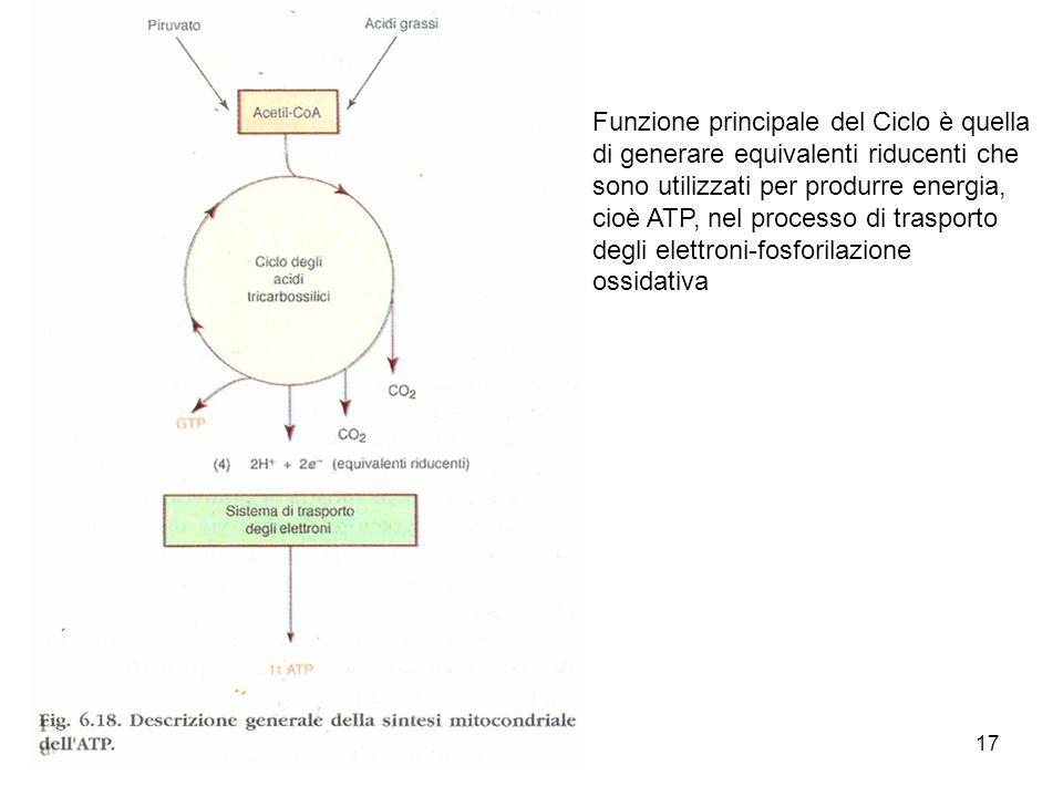 Funzione principale del Ciclo è quella di generare equivalenti riducenti che sono utilizzati per produrre energia, cioè ATP, nel processo di trasporto degli elettroni-fosforilazione ossidativa