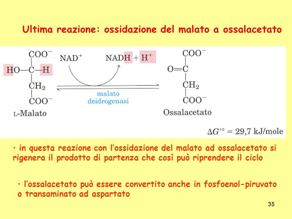 Ultima reazione: ossidazione del malato a ossalacetato