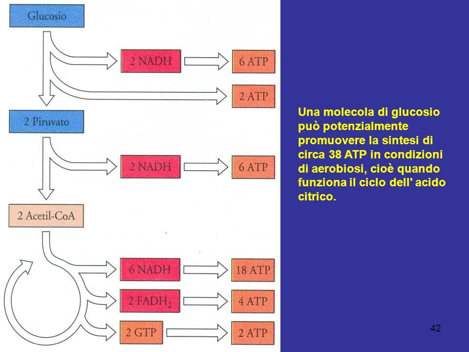 Una molecola di glucosio può potenzialmente promuovere la sintesi di circa 38 ATP in condizioni di aerobiosi, cioè quando funziona il ciclo dell acido citrico.