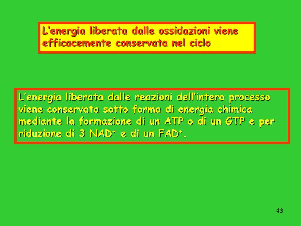 L'energia liberata dalle ossidazioni viene efficacemente conservata nel ciclo