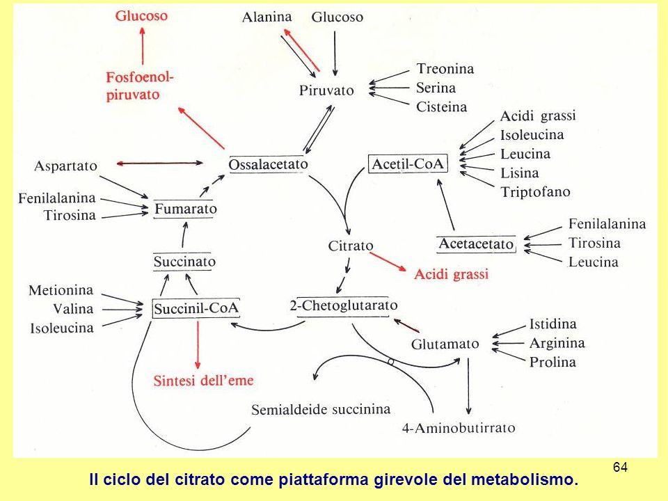 Il ciclo del citrato come piattaforma girevole del metabolismo.