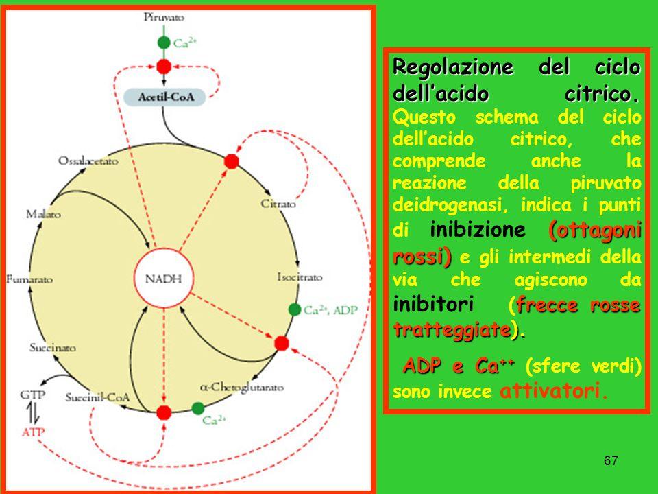 Regolazione del ciclo dell'acido citrico
