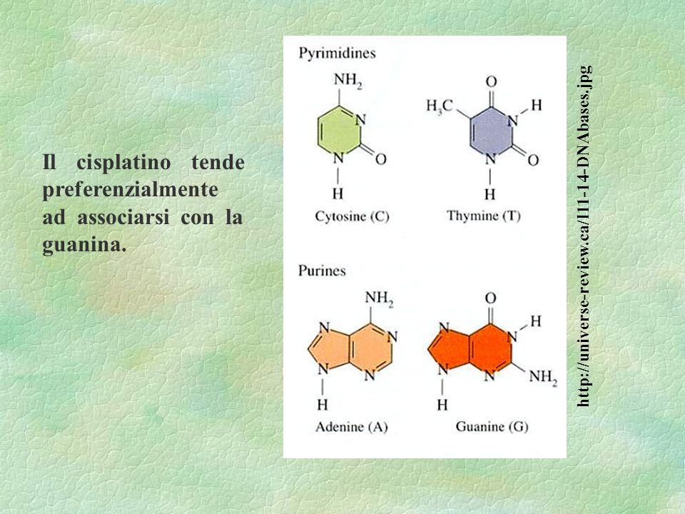 Il cisplatino tende preferenzialmente ad associarsi con la guanina.