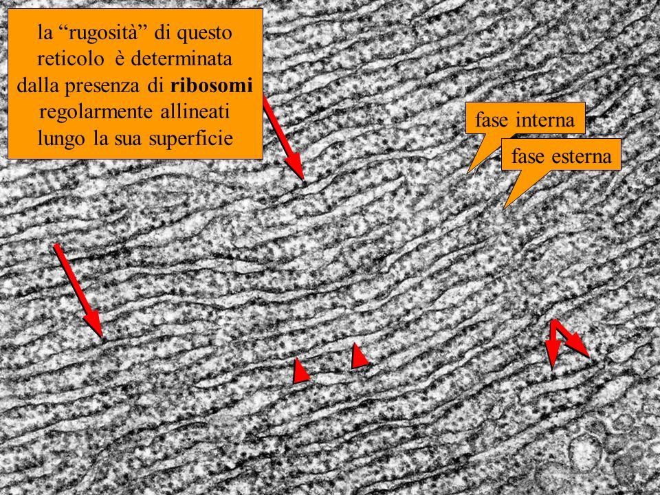 la rugosità di questo reticolo è determinata dalla presenza di ribosomi regolarmente allineati lungo la sua superficie