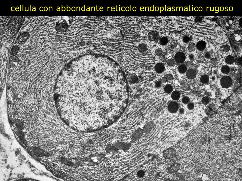 cellula con abbondante reticolo endoplasmatico rugoso