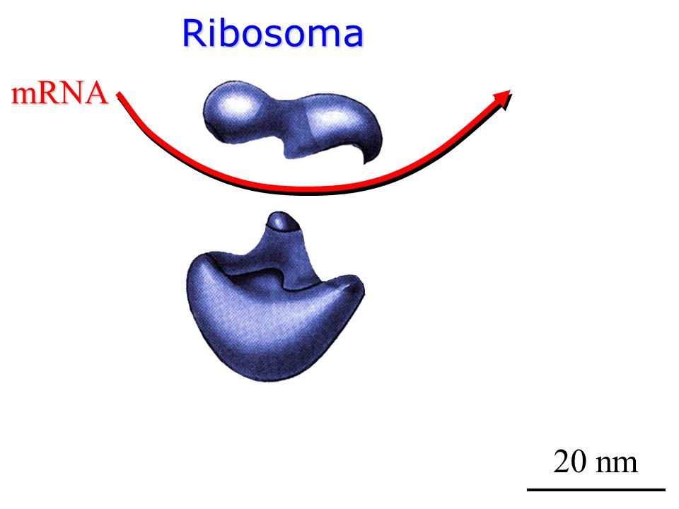 Ribosoma mRNA 20 nm